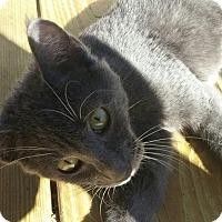 Adopt A Pet :: Silver Belle - New Smyrna Beach, FL