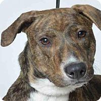Adopt A Pet :: COOKIE - Ukiah, CA