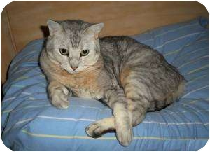 British Shorthair Cat for adoption in Phoenix, Arizona - LUCY