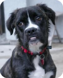 Boxer/Border Collie Mix Dog for adoption in Sacramento, California - Shelby