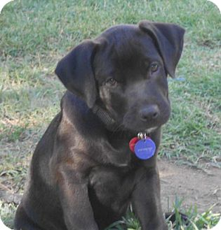 Labrador Retriever/German Shepherd Dog Mix Puppy for adoption in Torrance, California - Dexter