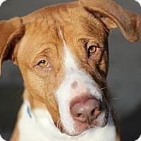 Adopt A Pet :: Hudson - Port Washington, NY