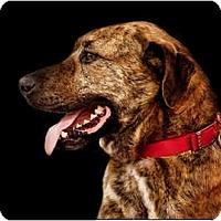 Adopt A Pet :: Zebo - Owensboro, KY