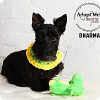 Adopt A Pet :: Dharma - Omaha, NE