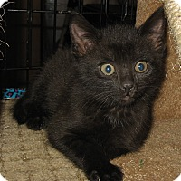 Adopt A Pet :: kittens - brewerton, NY