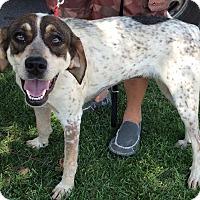 Adopt A Pet :: Scarlett - Cincinnati, OH