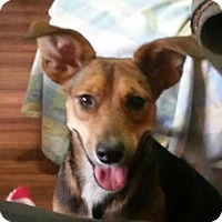Rat Terrier Mix Dog for adoption in Palm Harbor, Florida - Daisy