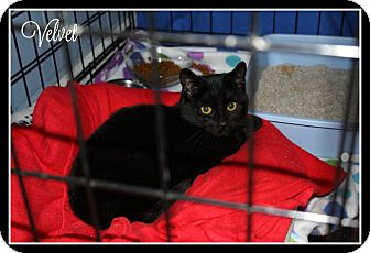 Domestic Shorthair Kitten for adoption in New Richmond,, Wisconsin - Velvet