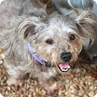 Adopt A Pet :: Tangley - Woonsocket, RI