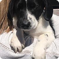 Adopt A Pet :: Sebastian - Nashville, TN