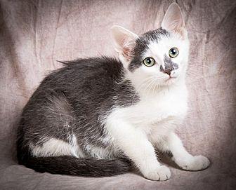 Domestic Shorthair Kitten for adoption in Anna, Illinois - PANDORA