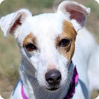 Jack Russell Terrier Dog for adoption in Colorado Springs, Colorado - Beatrice