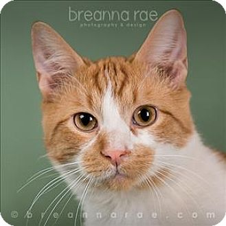 Domestic Shorthair Cat for adoption in Sheboygan, Wisconsin - Pumpkin
