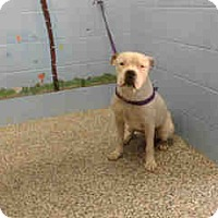 Boxer Mix Dog for adoption in San Bernardino, California - URGENT on 10/11 SAN BERNARDINO