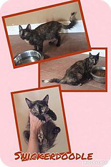 Domestic Longhair Kitten for adoption in Scottsdale, Arizona - Snickerdoodle