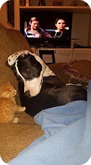 Bull Terrier/American Bulldog Mix Dog for adoption in Rincon, Georgia - Shakira