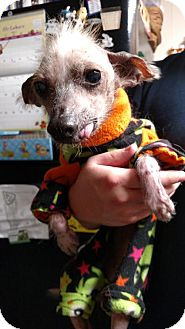 Chinese Crested Dog for adoption in Akron, Ohio - Bella