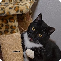 Domestic Shorthair Cat for adoption in Independence, Missouri - Ashley