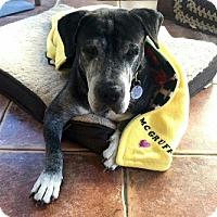Labrador Retriever/Basset Hound Mix Dog for adoption in Deltona, Florida - McGruff