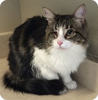 Maine Coon Cat for adoption in North Highlands, California - Sunflower