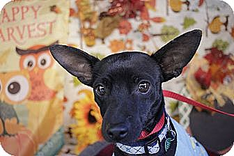 Chihuahua/Rat Terrier Mix Dog for adoption in San Antonio, Texas - Dude