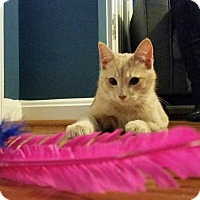 Adopt A Pet :: Reece- Kitten Cutie - Arlington, VA