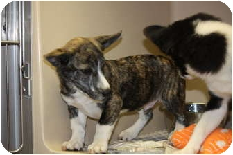 Dachshund/Blue Heeler Mix Puppy for adoption in Prince William County ...