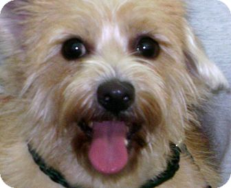 Cairn Terrier Mix Dog for adoption in Thousand Oaks, California - Sadie