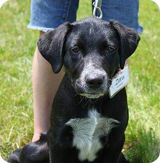 Labrador Retriever Mix Puppy for adoption in La Crosse, Wisconsin - Zena