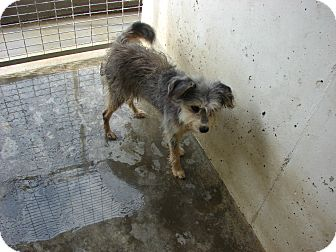 Cairn Terrier Mix Dog for adoption in Fort Scott, Kansas - Stewie