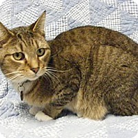 American Shorthair Cat for adoption in Cleveland, Ohio - Mittens