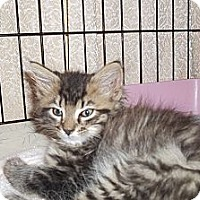 Adopt A Pet :: Long Haired Tiger - Acme, PA