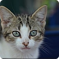 Adopt A Pet :: Star - Brooklyn, NY