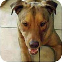 Adopt A Pet :: Troy - Scottsdale, AZ