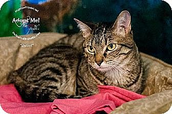 Domestic Shorthair Cat for adoption in Lakewood, Colorado - Juliet (& Romeo Bonded Pair)