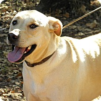 Labrador Retriever/Shepherd (Unknown Type) Mix Dog for adoption in Shawnee, Oklahoma - Boomer