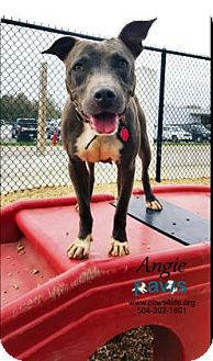 Pit Bull Terrier Mix Dog for adoption in Belle Chasse, Louisiana - Angie