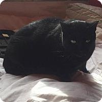 Adopt A Pet :: Raven - Nesquehoning, PA