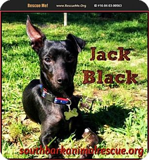 Chihuahua/Miniature Pinscher Mix Dog for adoption in Pensacola, Florida - Jack Black