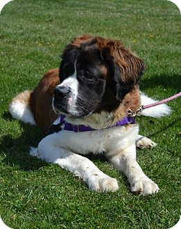 St. Bernard Mix Dog for adoption in East Smithfield, Pennsylvania - Bennie