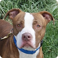 Pit Bull Terrier Mix Dog for adoption in Dundee, Michigan - Morrey