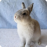 Adopt A Pet :: Blue - Fountain Valley, CA