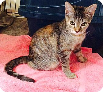 Domestic Shorthair Kitten for adoption in Rock Hill, South Carolina - Lily