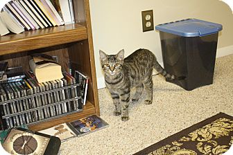 Domestic Shorthair Cat for adoption in St. Louis, Missouri - Lexus