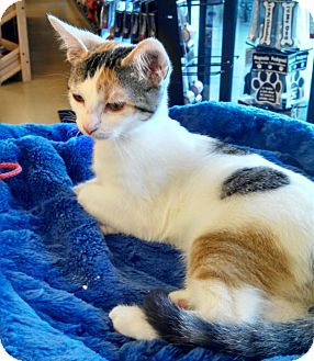 Domestic Shorthair Kitten for adoption in Scottsdale, Arizona - Alicia
