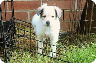Collie/Shepherd (Unknown Type) Mix Puppy for adoption in Enfield, Connecticut - Frito