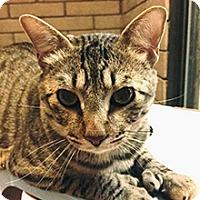 Domestic Shorthair Cat for adoption in Phoenix, Arizona - Jude