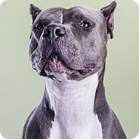 American Pit Bull Terrier Mix Dog for adoption in Los Angeles, California - Bolt