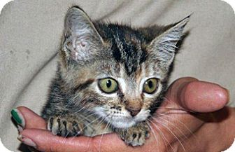 Domestic Shorthair Kitten for adoption in Wildomar, California - 313114