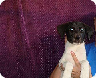 German Shorthaired Pointer/Labrador Retriever Mix Puppy for adoption ...